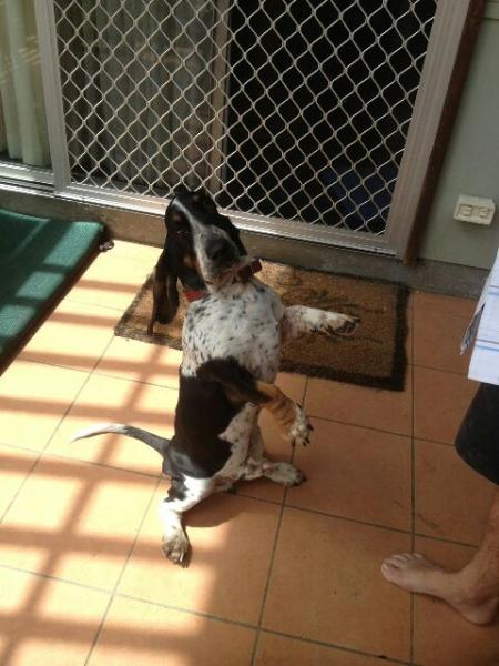 bassit-hound